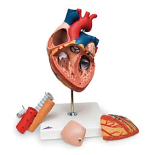 Model Anatomical Heart Ea - Henry Schein Special Markets